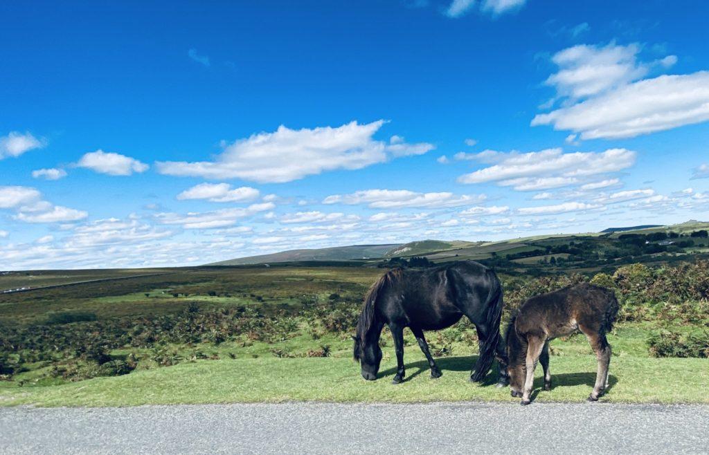 Dartmoor pony and foal on dartmoor national park